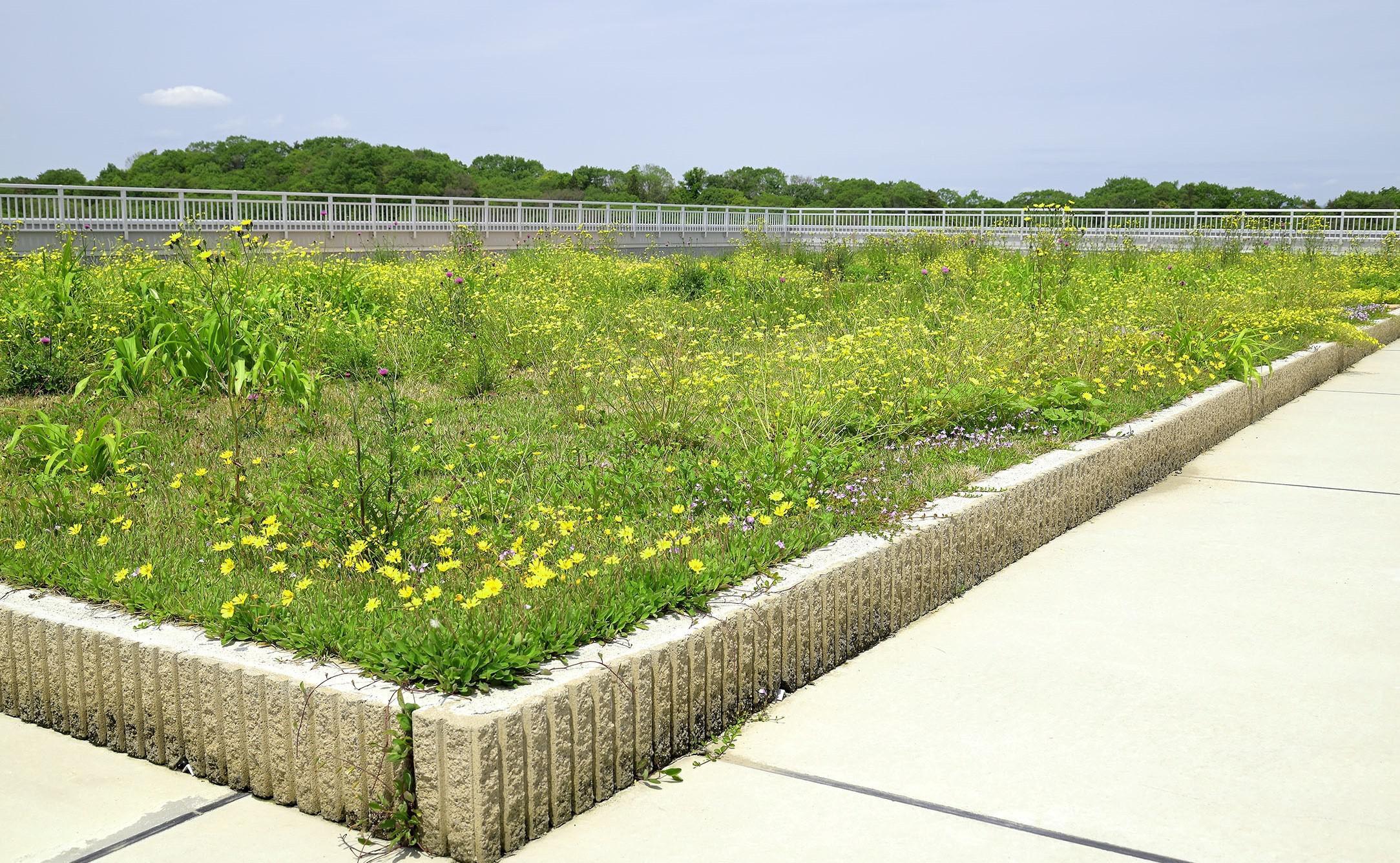 六甲北部の在来植物100%の屋上草地